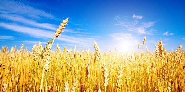 Il-frumento-non-generera-grano